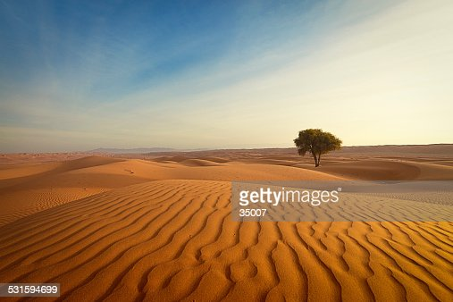 lonely tree in the desert of oman