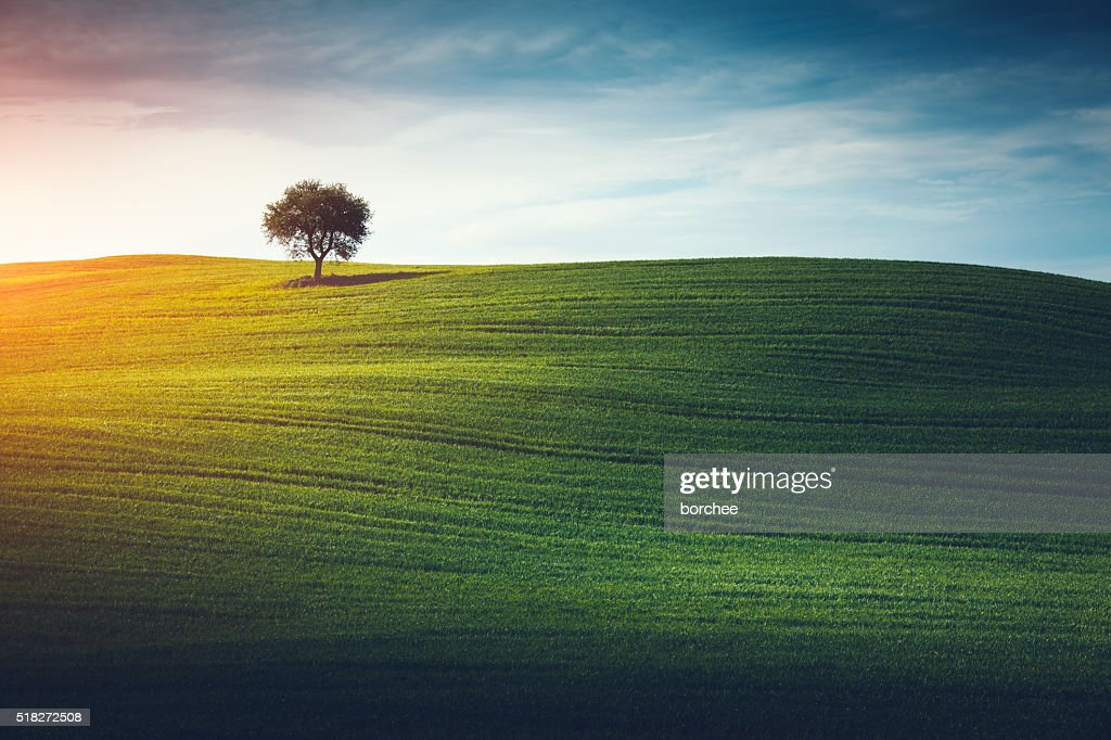 Lonely Tree In Tuscany : Stock Photo