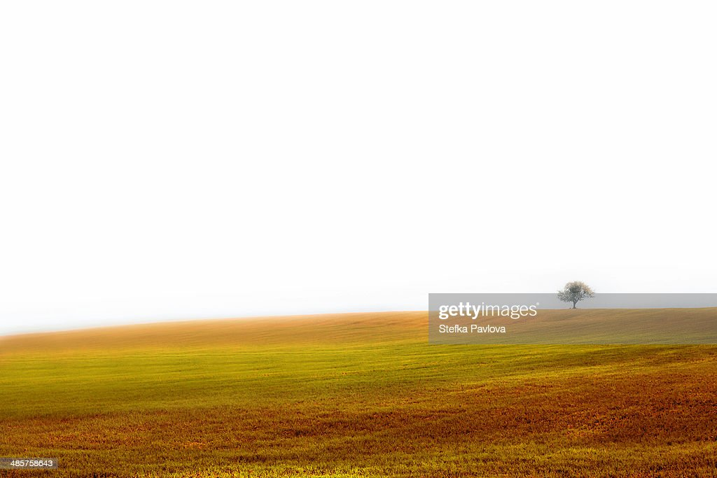 Lonely tree in yellow field : Stock Photo