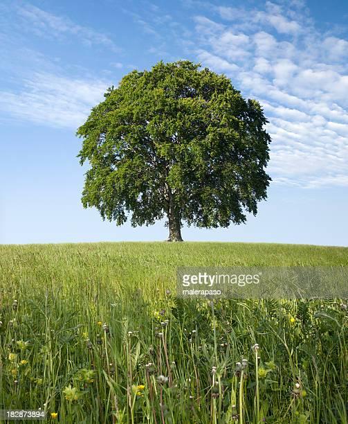 Einsame Baum im grünen Bereich. Buche.