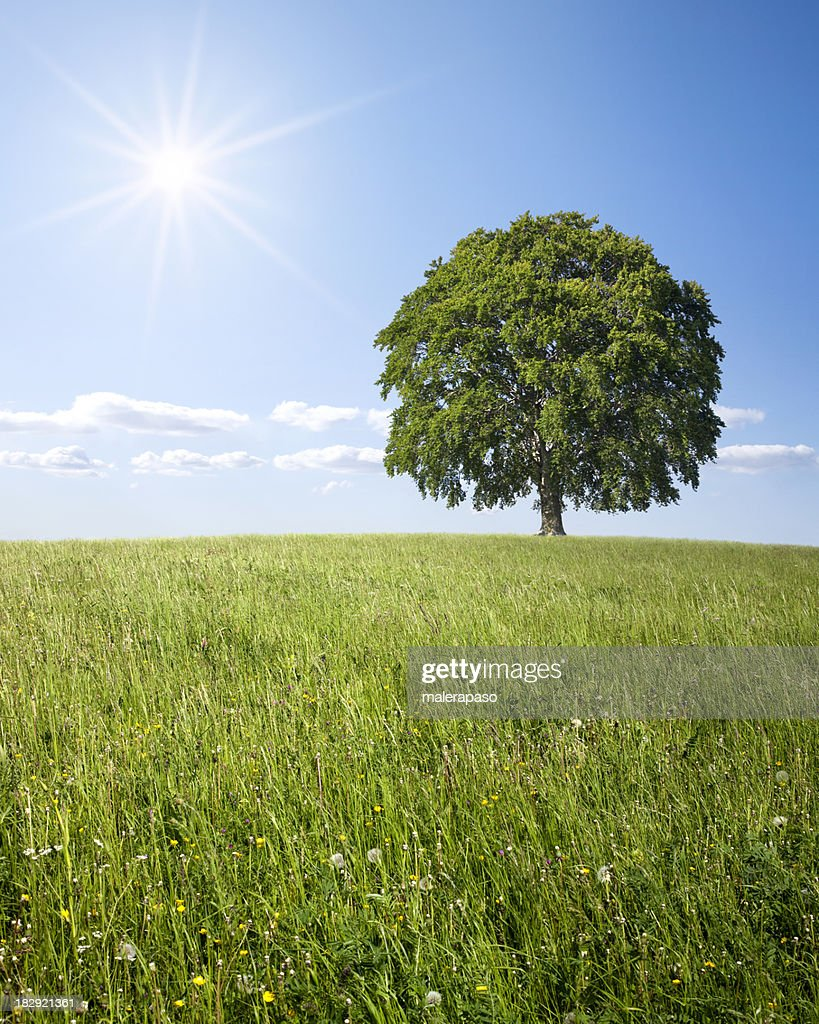 Lonely tree on green field. Beech. : Stock Photo