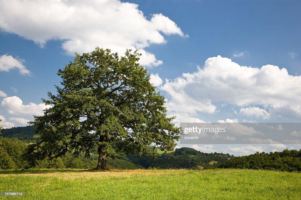 lonely tree : Stock Photo