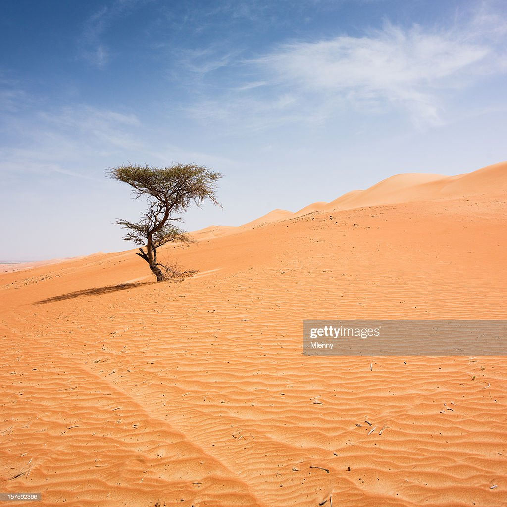 Lonely Tree Wahiba Sands Desert Sultanate of Oman