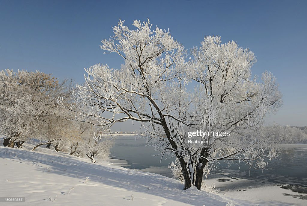 Lonely winter tree covered with frost. : Stock Photo