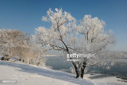 Solitária Árvore de Inverno coberto de geada. : Foto de stock