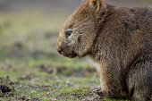 """""""The lonely wombat is wondering something. It looked sad, missing, thinking or even taking meditation. This wombat was in the wildlife. WombatLocation: Narawntapu National Park, Tasmania, AustraliaRel"""