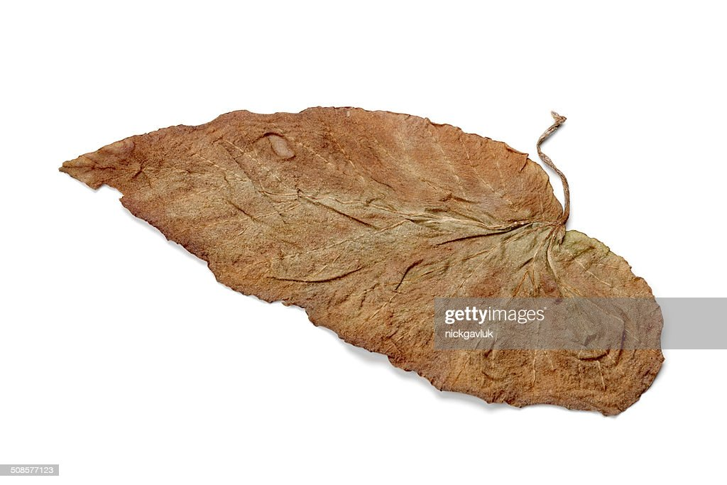 Lonely yellow leaf, isolated on a white background : Bildbanksbilder