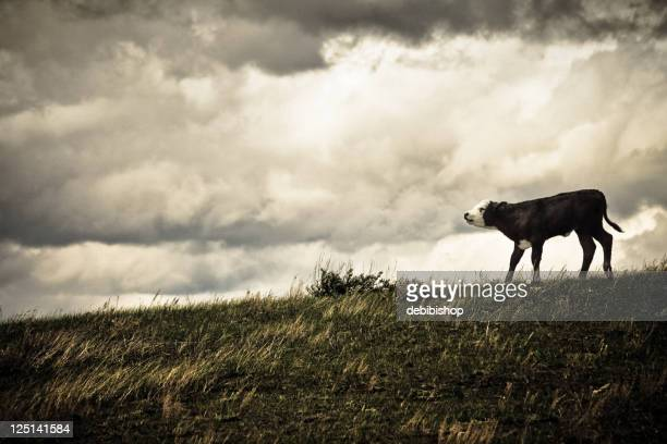 Lonesome Calf On A  Montana Hilltop & Storm Approaching