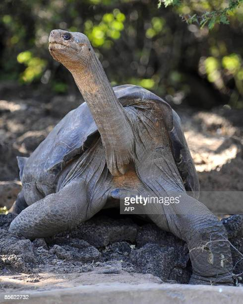 Lonesome George the last known individual of the Pinta Island Tortoise subspecies Geochelone nigra abingdoni one of the eleven subspecies of...