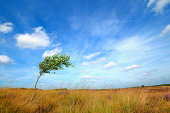 Lonesome tree in the wind