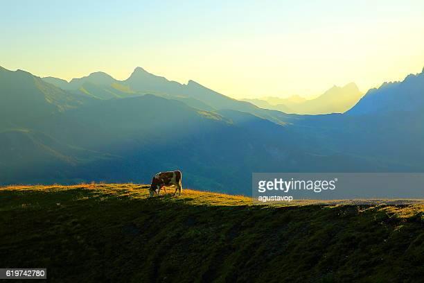 Loney Cow herd, Wetterhorn above Grindelwald: Swiss Alps sunrise
