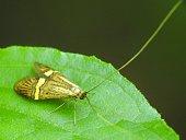 Adelidae