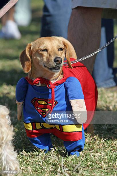 Bambi a Daschund mix is dressed as Superman at a Halloween costume parade and contest for dogs 29 October 2006 in Long Beach California AFP PHOTO /...