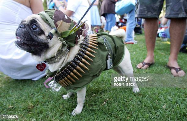 Pocky a Pug dog is dressed in a military costume at a Halloween costume parade and contest for dogs 29 October 2006 in Long Beach California AFP...