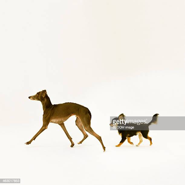 Long Coat Chihuahua And Italian Greyhound