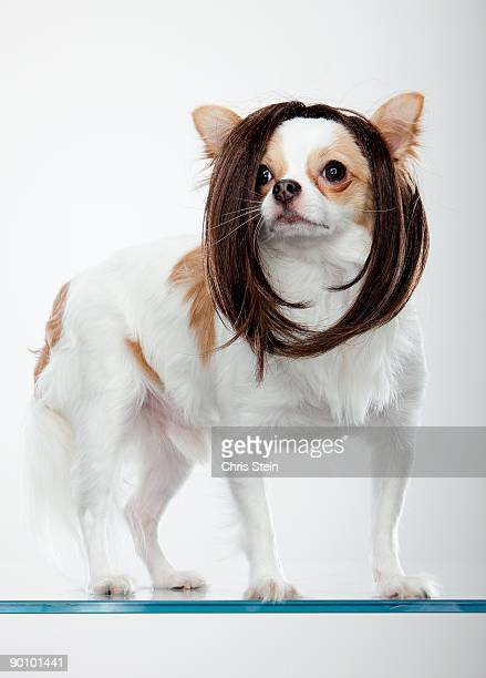 Long coat Chihuahua wearing wig