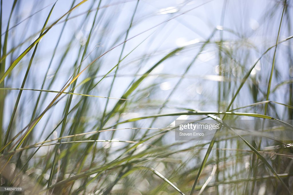 Long grass against a blue sky : Stock Photo