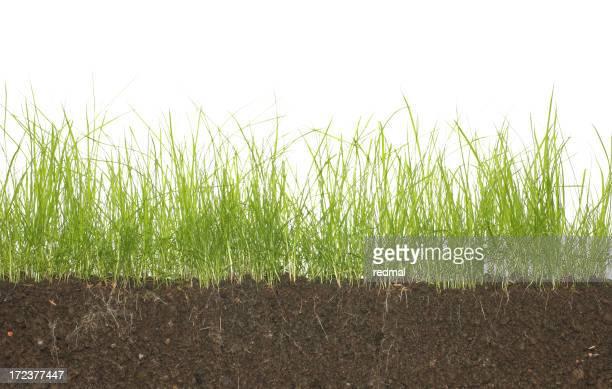 long herbe et de racines