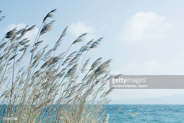 Long grass blowing in wind next to body of water