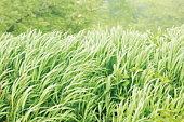 Long grass in field