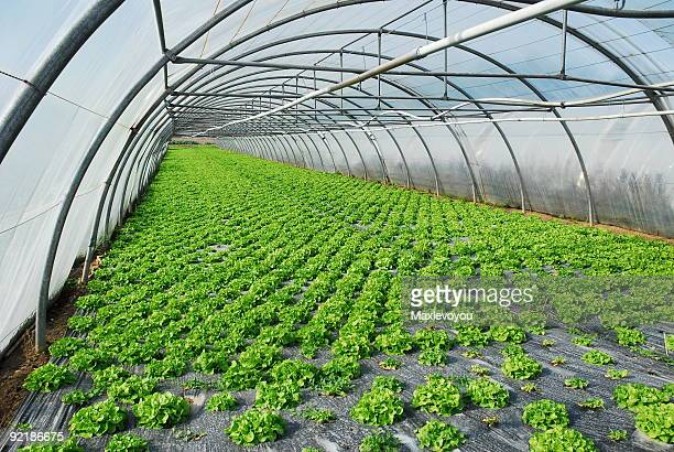 Long greenhouse showing greenery on the ground growing