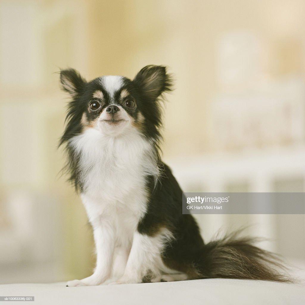 Long Hair Chihuahua Dog sitting, close-up : Stock Photo
