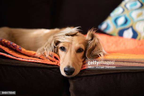 Long haired dachshund on the couch