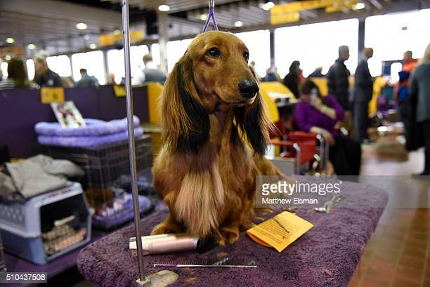 Long Haired Dachshund waits in the grooming area during the first day of competition at the Westminster Kennel Club 140 Annual Dog Show on February...