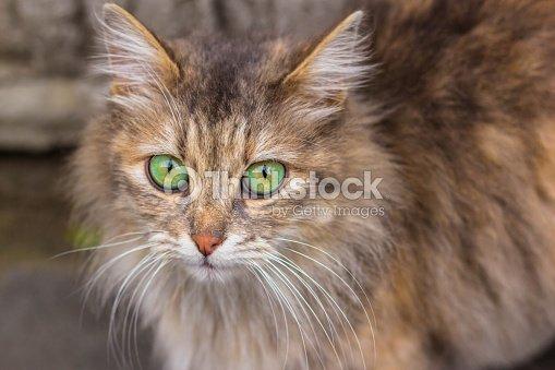 A Pelo Lungo Zenzero Gatto Con Occhi Verde Acceso Foto Stock