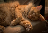 Long haired orange tabby cat sleeping in chair