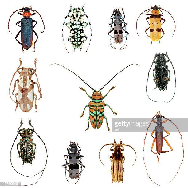 Long horned beetles collection XXXL