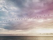 Long line of pelicans flying above ocean at sunset