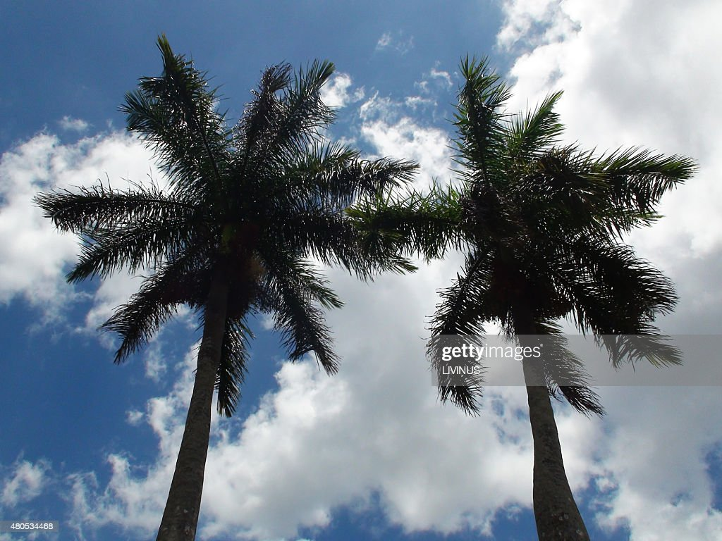 Long Palm Tree Against Blue Sky In The Caribbean : Stock Photo