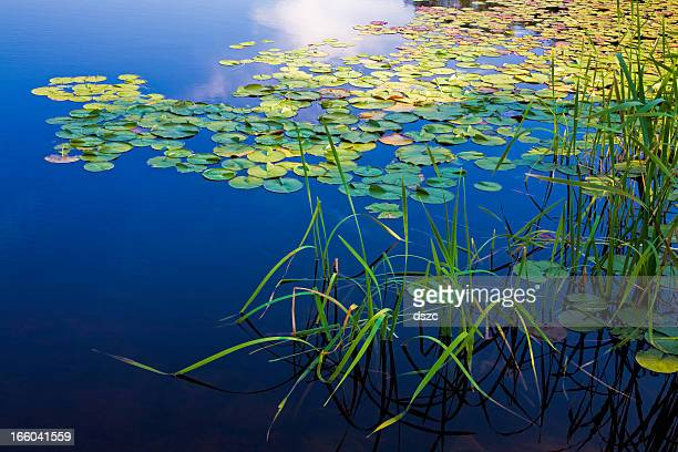 Long Pond, Maine, deep blue water lake, lily pads, grasses
