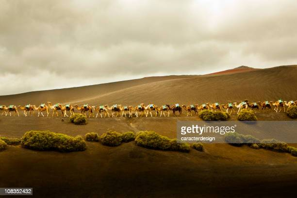 Long row of camels in Lanzarote, Spain.