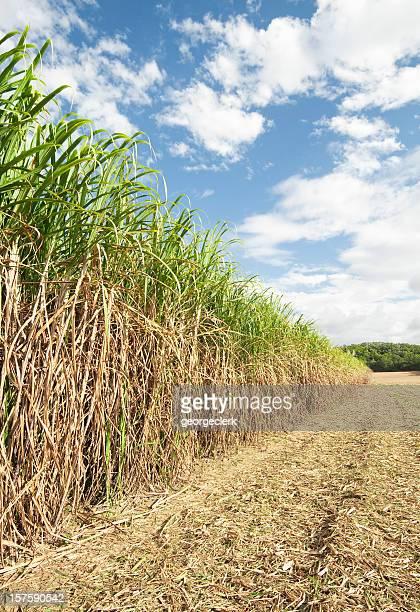 Long Row of Sugar Cane