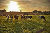 Long shadowed Holsteins