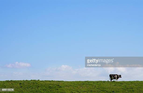 Long shot of a lone cow in a green pasture with blue sky