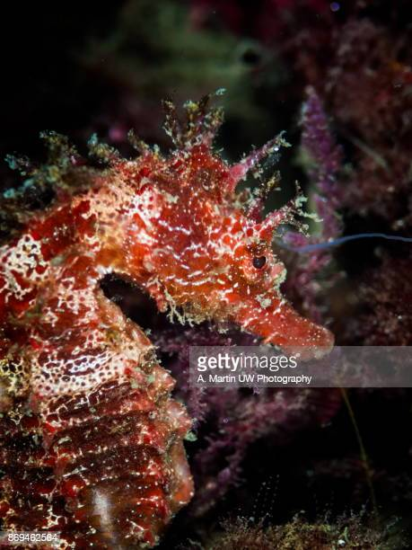 Long snouted Seahorse