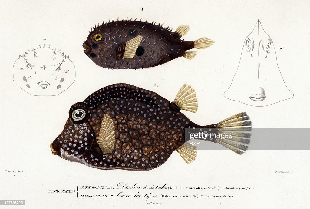 Long Spine Porcupinefish Engraving Of The 19Th Century Captionned 1 Diodon Sexmaculatusd 1A Its Head In Front View 2 Ostracion Triqueter 2A Its Head...