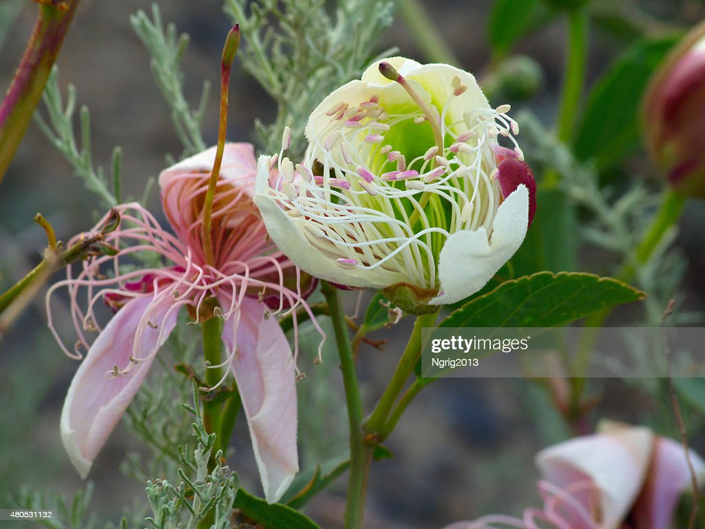 Long stamens of a beautiful flower : Stock Photo