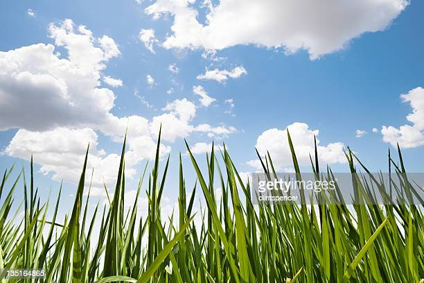 Long strands of green grass in front a cloudy blue sky