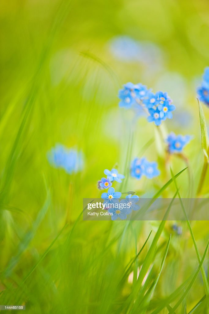 Long, sunlit grass and Forget-me-not flowers : Stock Photo
