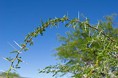 Long thorns of a Vachellia nilotica or white thorn acacia plant branch