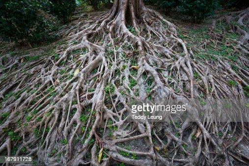 Long tree roots in Hong Kong
