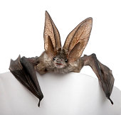 Grey long-eared bat, Plecotus astriacus, in front of white background, studio shot.