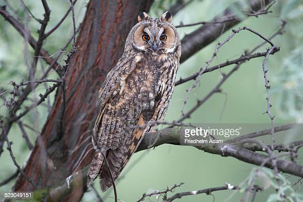 Long-eared Owl -Asio otus-, perched on a branch with tree trunk at back, Apetlon, Lake Neusiedl, Burgenland, Austria, Europe