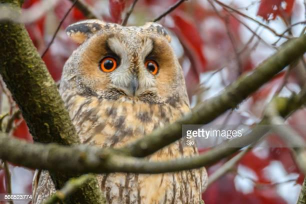 Ransuil (Asio otus) vergadering hoog in een boom in de herfst