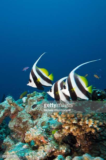 Longfin Bannerfish, Fiji
