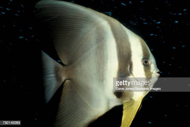Longfin spadefish, South Ari Atoll, Maldives.